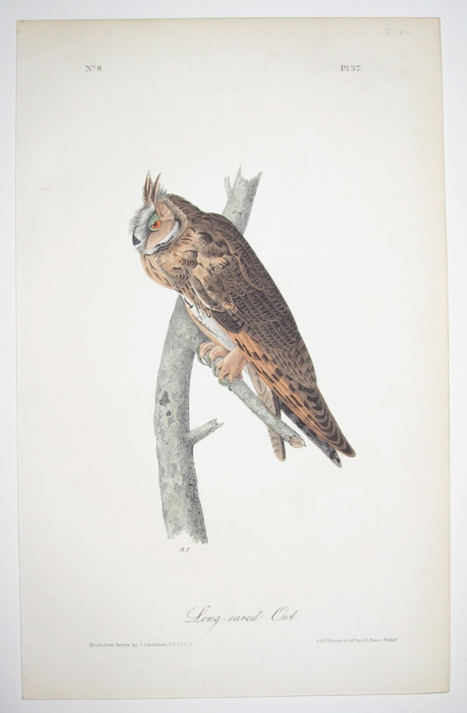 Long-eared Owl [Plate 37]. John James AUDUBON.