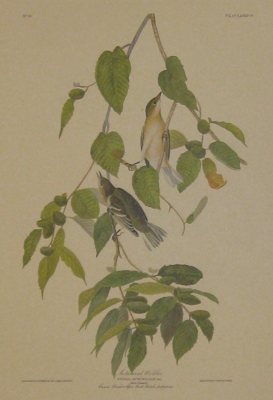 Autumnal Warbler, Sylvia Autumnalisx Wils, Male, 1. Female, 2. Canoe Birch or Paper Birch. Betula papyracea. [Havell 88]. John James AUDUBON.