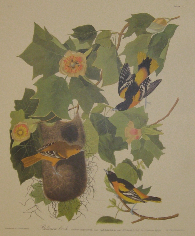 Baltimore Oriole. Icterus Baltimore. Daud, Adult Male, 1. Male two years old, 2. Female, 3. Tulip Tree Liriodendron tulipifera [Havell 12]. John James AUDUBON.