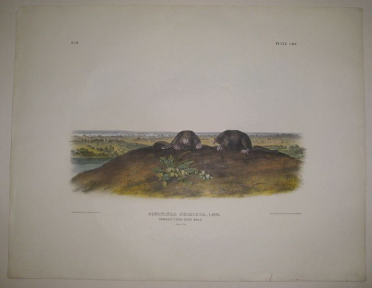 Condylura Cristata (Common Star-Nose Mole) [Plate 69]. John James AUDUBON.