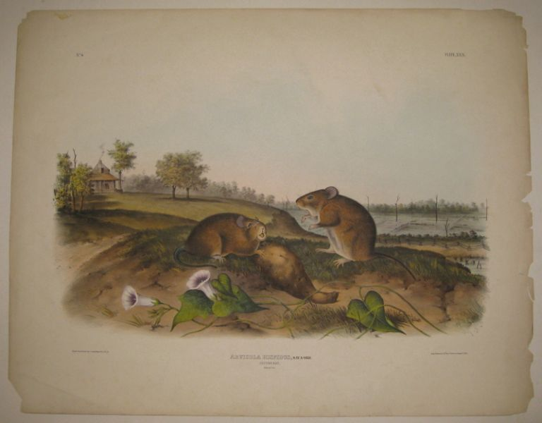 Arvicola Hispidus (Cotton Rat) [Plate 30]. John James AUDUBON.