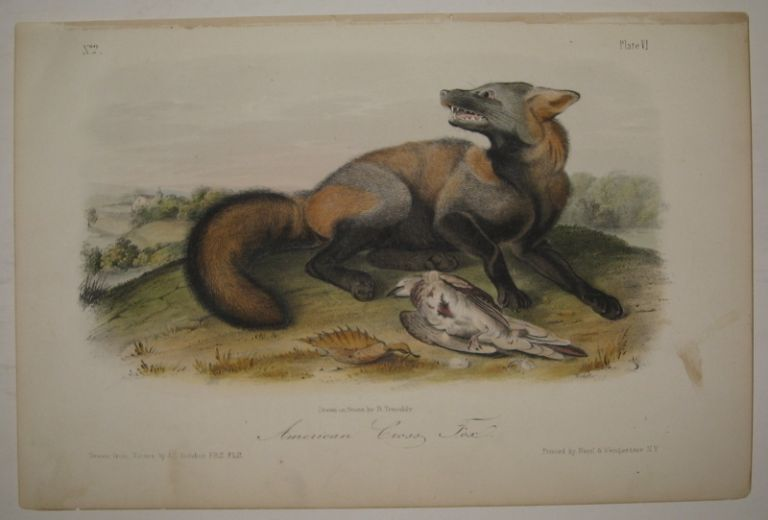 American Cross Fox [Plate 6]. John James AUDUBON.
