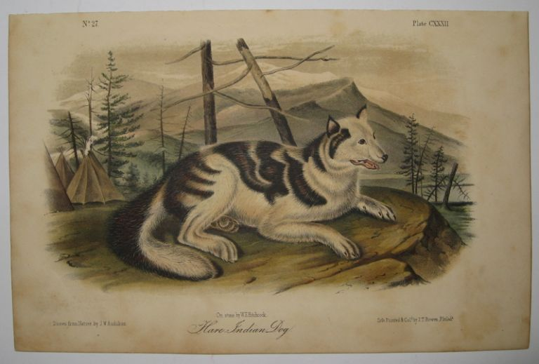 Hare-Indian Dog [Plate 132]. John James AUDUBON.