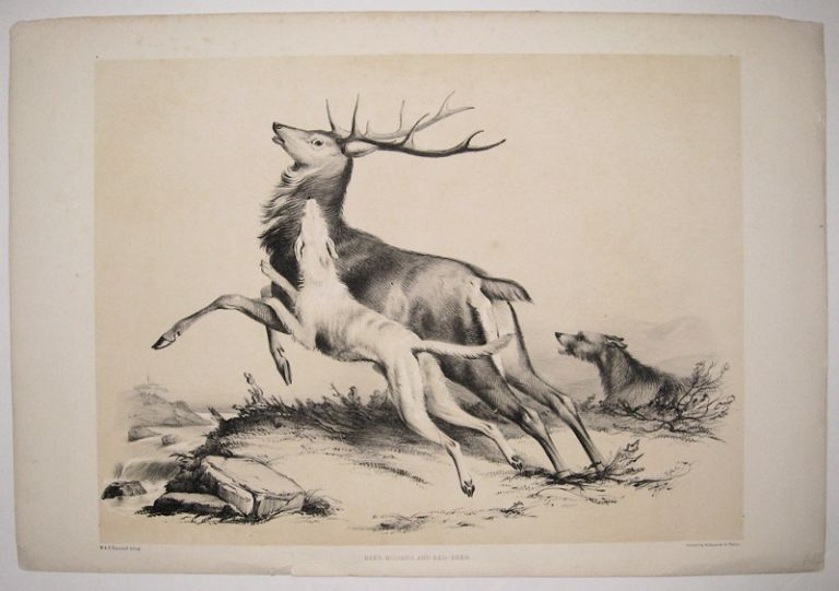 Deer Hounds and Red Deer. ANONYMOUS.