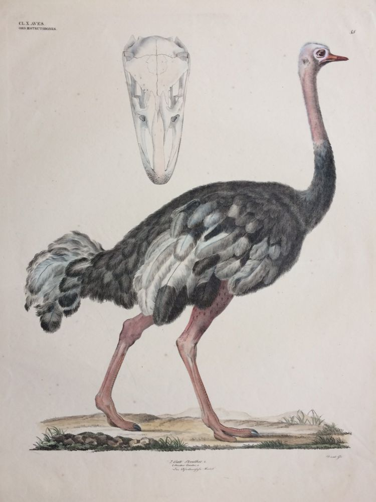 Struthio Camelus [Common ostrich]. Georg August GOLDFUSS.