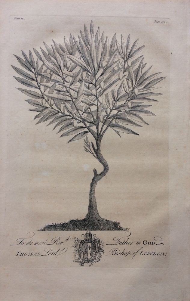 Wild Olive Tree - plate 12 from A Natural History of Barbados. George Dionysius EHRET.