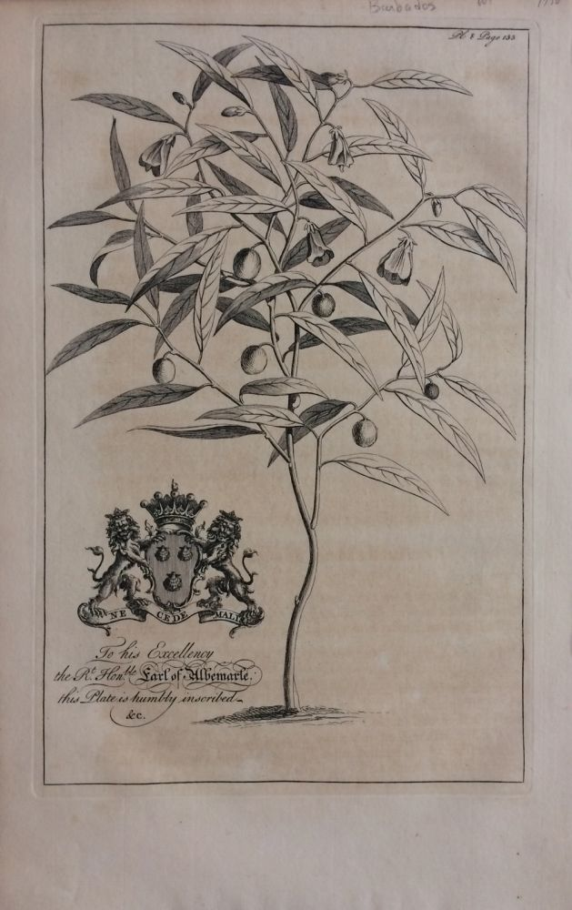 French Willow - plate 8 from A Natural History of Barbados. George Dionysius EHRET.