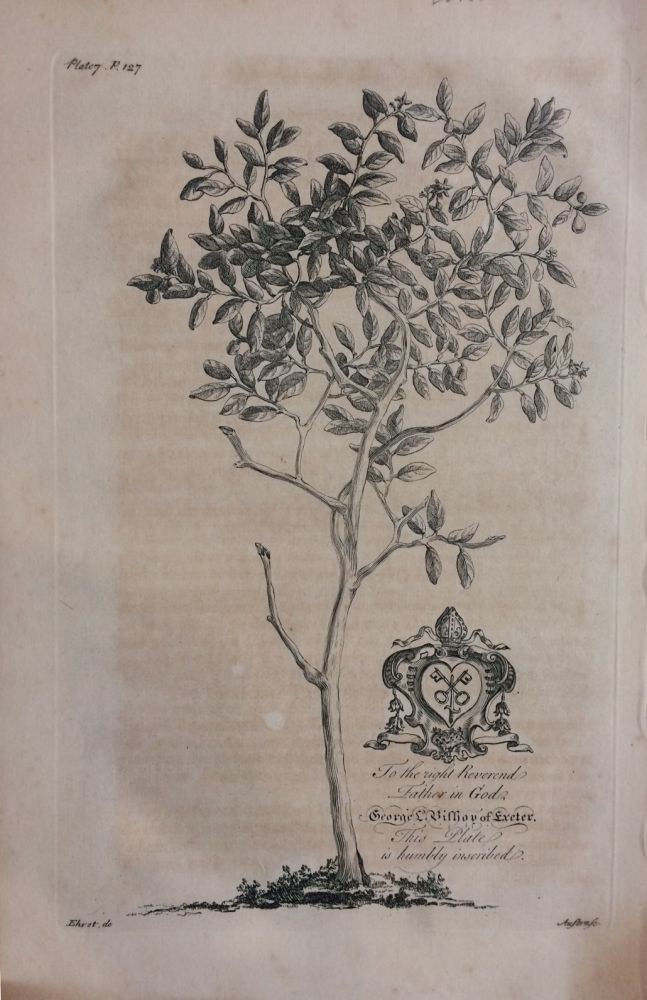 The Forbidden Fruit Tree (Grapefruit Tree) - plate 7 from A Natural History of Barbados. George Dionysius EHRET.