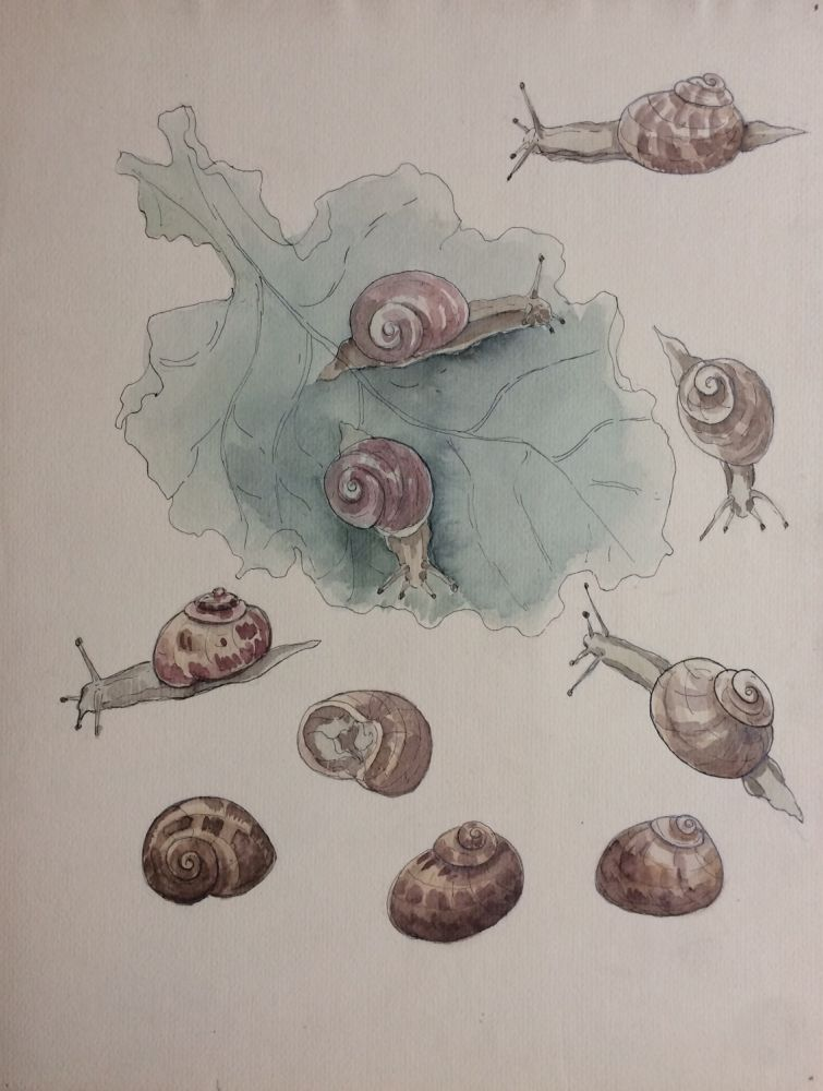 Etude des Escargots; Snail study - original drawing. A. Chinard.