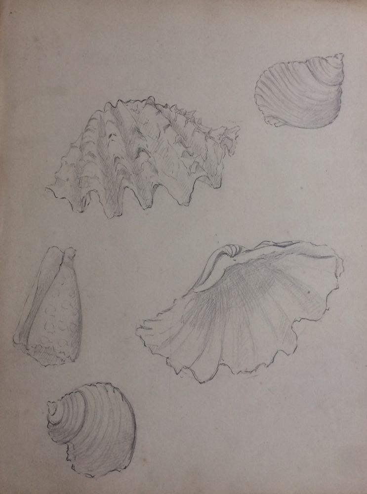 Coquilles; Shells - original drawing. A. Chinard.