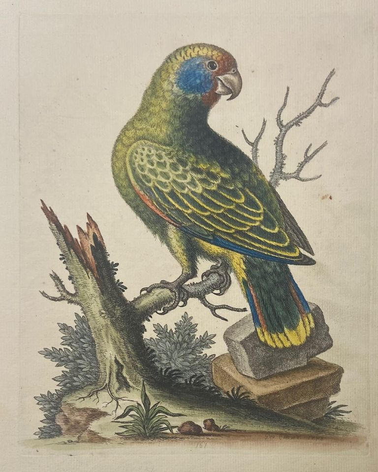 The Brazilian Green Parrot. George EDWARDS.