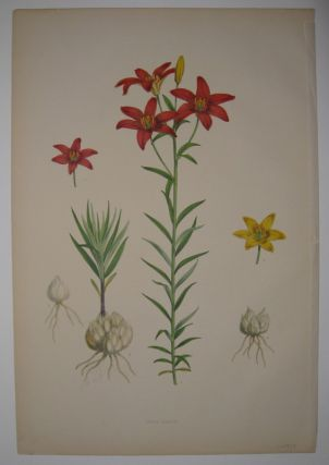 Lilium concolor. Walter Hood FITCH.