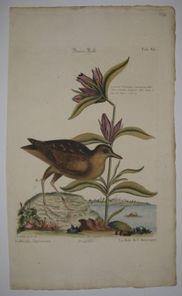 Braune Ralle. Mark CATESBY