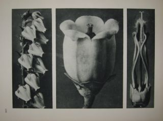 a. Andromeda Floribunda (Lily of the Valley shrub) b. Vaccinium Corymbosum (Highbush Blueberry) c. Acanthus Mollis (Bear's Breeches) Plate 109. Karl BLOSSFELDT.