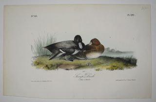 Scamp Duck [Plate 397]. John James AUDUBON.