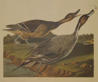 Pin tailed Duck, Anas Acuta. Male, 1. Female, 2. No. 46, [Havell 227]. John James AUDUBON.