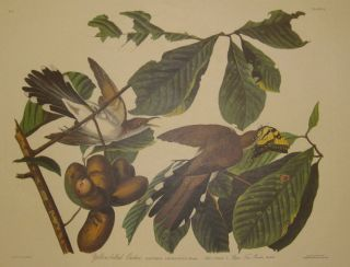 Yellow-billed Cuckoo, Coccyxus Americanus. Bonap, Male. 1. Female. 2. Papaw Tree. Porcelia triloba. [Havell 2]. John James AUDUBON.