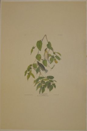 Autumnal Warbler, Sylvia Autumnalisx Wils, Male, 1. Female, 2. Canoe Birch or Paper Birch. Betula papyracea. [Havell 88]