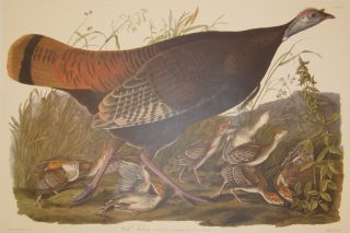 Wild Turkey, Meleagris Gallopavo. Linn Female and Young [Havell 6]. John James AUDUBON.