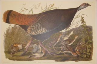 Wild Turkey, Meleagris Gallopavo. Linn Female and Young [Havell 6]