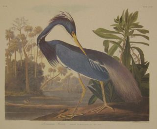 Louisiana Heron, Ardea Ludoviciana. Wils Male adult. No. 44 [Havell 217]. John James AUDUBON.