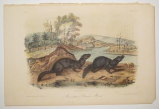 Mountain Brook Mink [Plate 124]. John James AUDUBON.