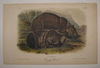 Grizzly Bear [Plate 131]. John James AUDUBON.
