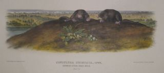 Condylura Cristata (Common Star-Nose Mole) [Plate 69]