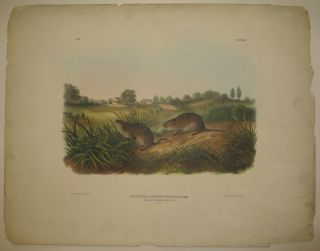 Arvicola Pennsylvanicus (Wilsons Meadow Mouse) [Plate 45]. John James AUDUBON.