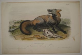 American Cross Fox [Plate 6]. John James AUDUBON