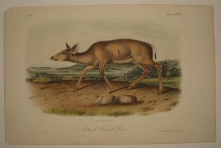 Black-Tailed Deer [Plate 78]. John James AUDUBON.