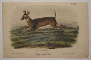 Long-tailed Deer [Plate 118]. John James AUDUBON