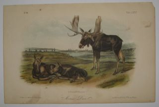 Moose Deer [Plate 76]. John James AUDUBON