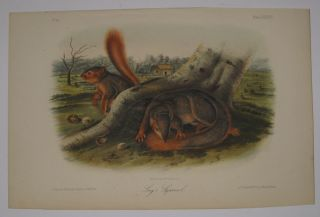 Say's Squirrel [Plate 89]. John James AUDUBON.