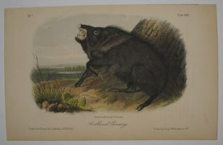 Collared Peccary [Plate 31]. John James AUDUBON.