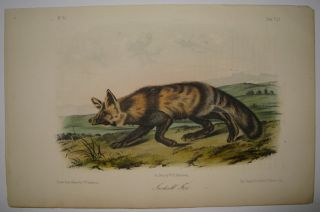 Jackall Fox [Plate 151]. John James AUDUBON.