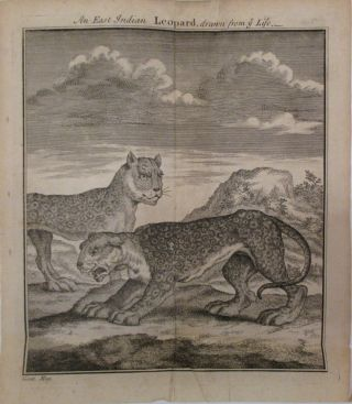 An East Indian Leopard, drawn from ye Life. GENTLEMAN'S MAGAZINE.