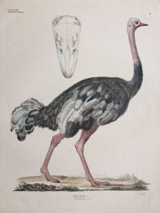 Struthio Camelus [Common ostrich]. Georg August GOLDFUSS