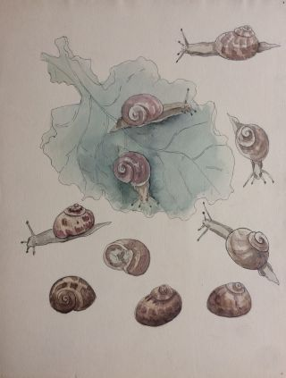 Etude des Escargots; Snail study - original drawing. A. Chinard