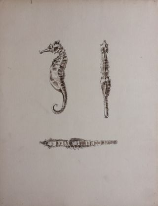 Etude des Hippocampes; Seahorse Study - original drawing. A. Chinard.