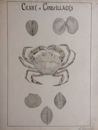 Crabe et Coquillages; Crab and Shells - original drawing. A. Chinard