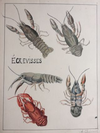 Ecrevisses; Crayfish - original drawing. A. Chinard