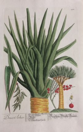 Draco Arbor.; Dragon Tree. Elizabeth BLACKWELL