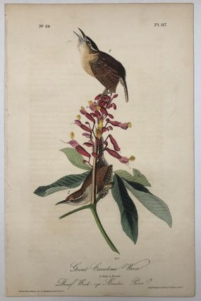 Great Carolina Wren [Plate 117]. John James AUDUBON