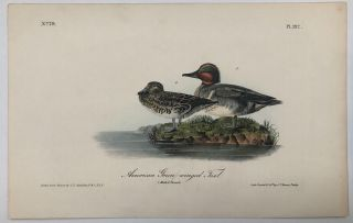 American Green-winged Teal [Plate 392]. John James AUDUBON