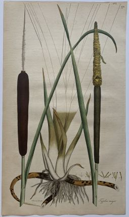 Typha major. William CURTIS