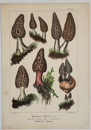 Morchella Conica; Morille conique. Spitzmorchel. Fritz LEUBA